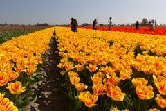 Ourist разрушая поля тюльпана в регионе шарика Bollenstreek стоковые изображения rf