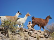 Ourists take pictures of Lamas of  in the vast Altiplano Stock Image