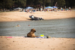 在海滩的狗在蓬塔在莫桑比克做Ouro 库存照片