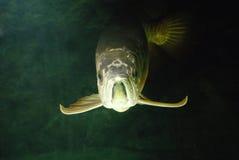 Ouro Arowana subaquático fotografia de stock royalty free