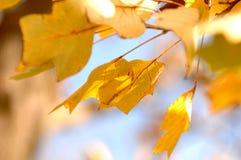Ouro Autumn Laves que acena através do céu imagens de stock royalty free