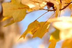 Ouro Autumn Laves que acena através do céu imagem de stock