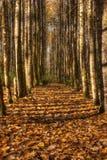 Ouro do outono da queda Foto de Stock Royalty Free