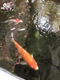 Ouro dos peixes Fotos de Stock Royalty Free