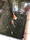 Ouro dos peixes Foto de Stock