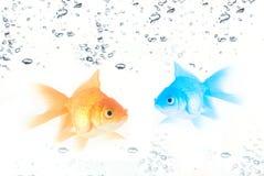 Ouro e peixes azuis Fotos de Stock Royalty Free