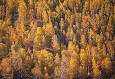 Ouro, floresta do outono em Rússia Fotografia de Stock Royalty Free