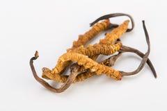 Ouro Himalaia Nepal de Yartsa Gunbu do sinesis de Yarsagumba Cordyceps no fundo branco Fotos de Stock