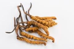 Ouro Himalaia Nepal de Yartsa Gunbu do sinesis de Yarsagumba Cordyceps no fundo branco Fotos de Stock Royalty Free