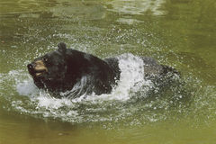 Ours éclaboussant dans un étang  Photos libres de droits