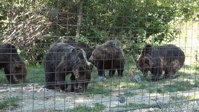 Ours affamés mangeant dans la région de captivité dans un abri spécial pour les animaux sauvages banque de vidéos