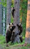 Ours avec des cuvettes dans la forêt Images stock