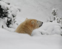 Ours blanc Photos stock