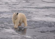 Ours blanc Photographie stock libre de droits