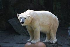 Ours blanc. Image libre de droits