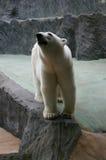 Ours blanc Photo libre de droits