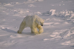 Ours blanc Image libre de droits