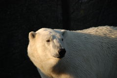 Ours blanc photos libres de droits
