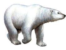 Ours blanc animal illustration stock