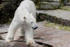 Ours blanc animal de mammifère sauvage dans un zoo photographie stock libre de droits