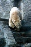 Ours blanc, animaux amicaux au zoo de Prague Image stock