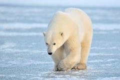 Ours blanc arctique et Photo stock