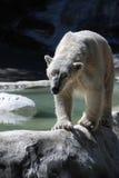 Ours blanc arpentant marchant le long d'un bord photos libres de droits