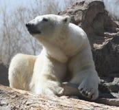 Ours blanc au repos Photos stock