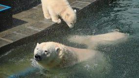 Ours blanc avec des petits animaux jouant dans l'eau banque de vidéos