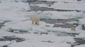 Ours blanc avec deux petits animaux banque de vidéos