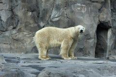 Ours blanc avec le bâton Image stock