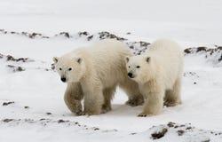 Ours blanc avec petits animaux dans la toundra canada photos stock