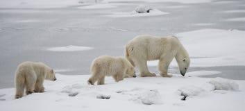 Ours blanc avec petits animaux dans la toundra canada images stock