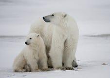Ours blanc avec petits animaux dans la toundra canada images libres de droits