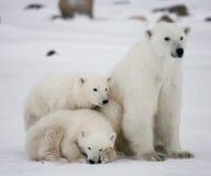 Ours blanc avec petits animaux dans la toundra canada image libre de droits