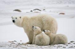 Ours blanc avec petits animaux dans la toundra canada photo stock