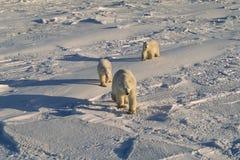 Ours blanc avec ses animaux Photo libre de droits