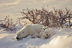 Ours blanc avec ses animaux Image stock