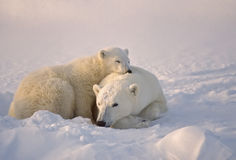 Ours blanc avec son animal photo stock