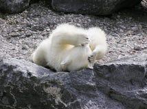 Ours blanc avec un mal de tête Images stock