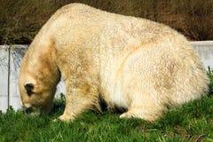 Ours blanc B Images libres de droits