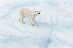 Ours blanc chez le Svalbard images stock