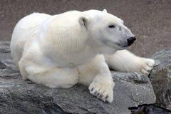 Ours blanc détendant sur la roche Images stock