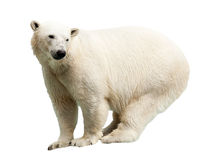 Ours blanc. D'isolement Photo stock