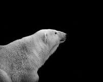 Ours blanc d'isolement sur le portrait monochrome noir Photographie stock libre de droits