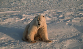 Ours blanc dans l'Arctique canadien photos stock