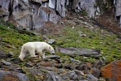 Ours blanc dans l'Arctique d'été photo stock