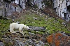 Ours blanc dans l'Arctique d'été image libre de droits