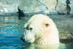 Ours blanc dans l'eau Photographie stock libre de droits
