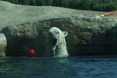 Ours blanc dans l'eau avec la boule rouge Photographie stock libre de droits